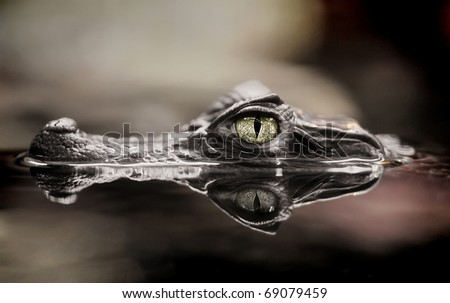 The small caiman in water - stock photo