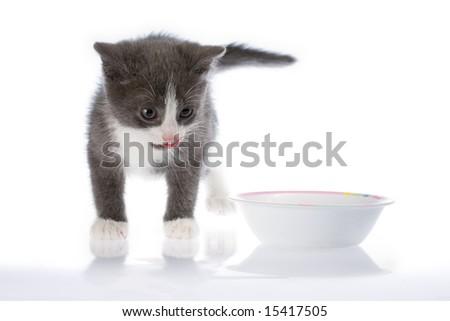 The small grey kitten licks lips - stock photo
