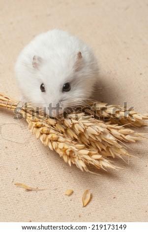 The small hamster eat a seed on sackcloth - stock photo