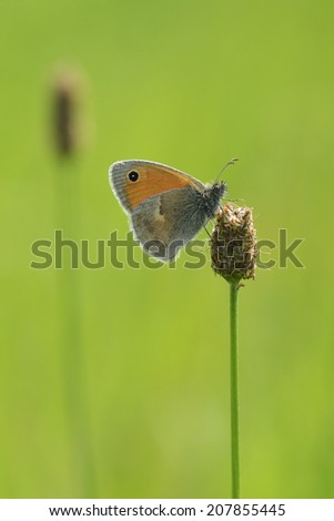 The Small Heath, Coenonympha pamphilus, - stock photo
