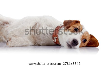 The small lovely doggie of breed a Jack Russell Terrier lies on a white background - stock photo