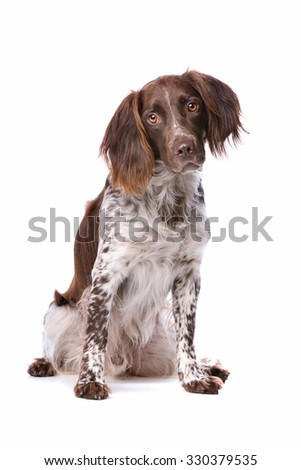 The Small Munsterlander also named as Heidewachtel in front of a white background - stock photo