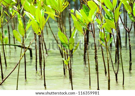 The Small of mangrove forest and sea water - stock photo