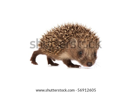 The small prickly hedgehog in motion looks at me - stock photo