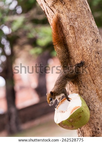 The small squirrel eating coconut. - stock photo
