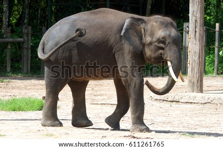 The smallest elephant, precious Borneo pygmy elephant