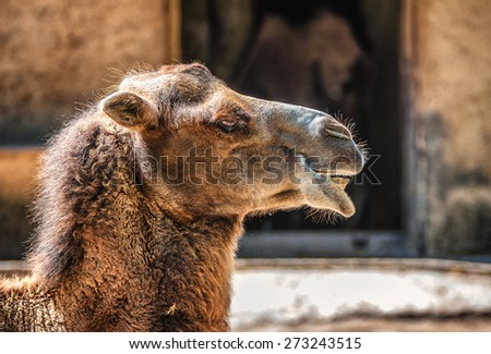 The smile portrait of  bactrian camel   - stock photo
