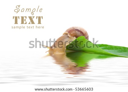 The snail sits on a green leaf and looks at the reflection in water