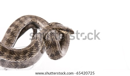 The snake twisted in a goblet on a white background