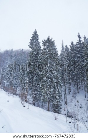 The snow covered the firs and the Carpathian mountains with a white veil. Winter in the Ukrainian Carpathians. The mountains are covered with coniferous forest.
