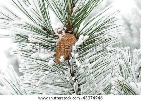 The snow has covered branches with strobile - stock photo