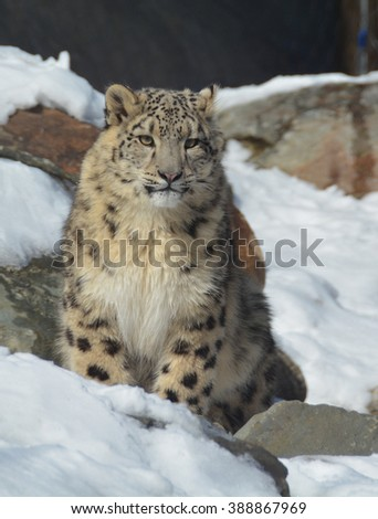 The snow leopard is a large cat native to the mountain ranges of Central and South Asia. It is listed as endangered on the IUCN Red List of Threatened Species - stock photo