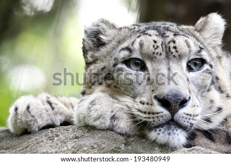 The snow leopard (Panthera uncia syn. Uncia uncia) is a large cat native to the mountain ranges of Central and South Asia.