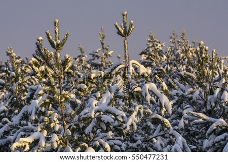 The snow on the pine trees in winter sunset with  sky and clouds background