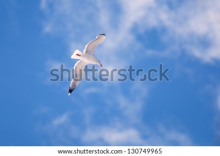 The snow-white seagull in the rays of sunlight, is easily lifted into the blue sky with a few white clouds - stock photo