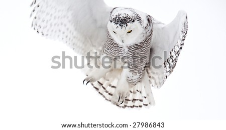 The Snowy Owl is an Arctic bird that may migrate south if food stocks diminish. - stock photo