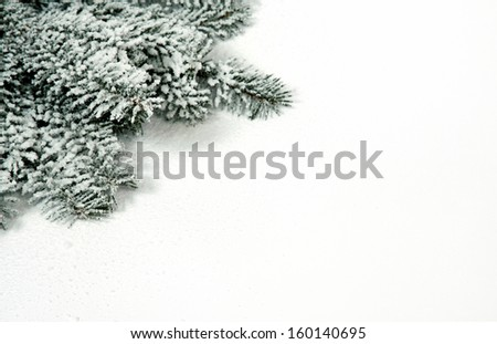 The snowy twigs of the spruce in the corner of the picture - stock photo