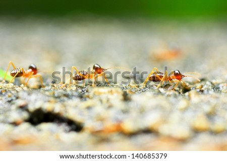 the soldier termite of soil eaters - stock photo