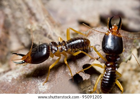 the soldier termite of soil eaters