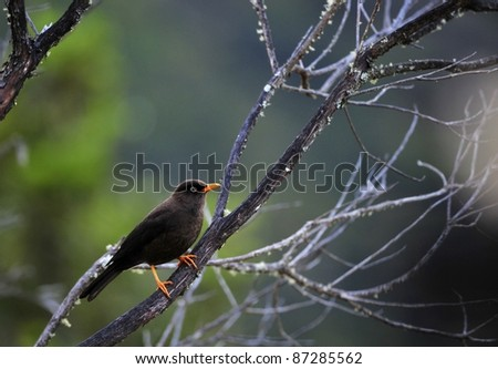 The Sooty Thrush (Turdus nigrescens) is a large thrush endemic to the highlands of Costa Rica and western Panama. It was formerly known as the Sooty Robin. - stock photo