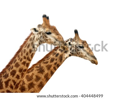 The South African giraffe or Cape giraffe (Giraffa camelopardalis giraffa) two males on white background