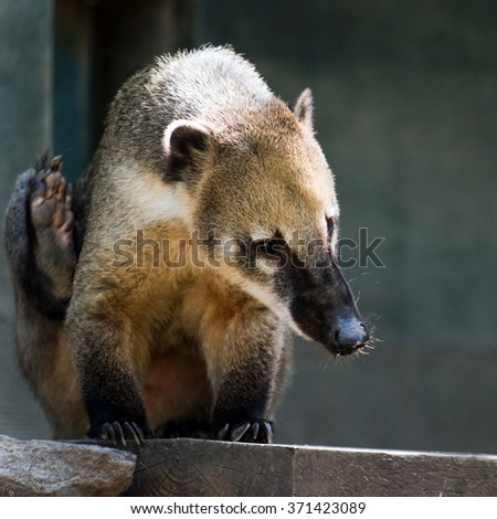 The South American coati, or ring-tailed coati
