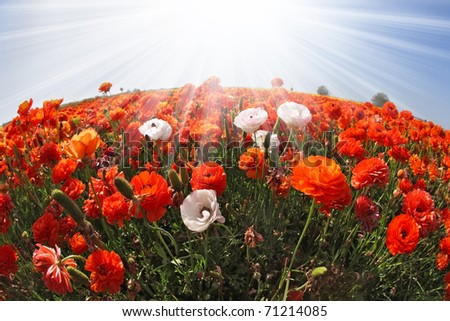 The sparkling sun rays illuminate a large field of blooming orange and white buttercups. Photo taken by lens Fisheye - stock photo