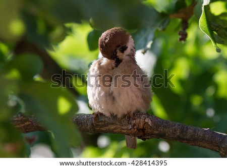 The sparrow is cleaning the plumage. The sparrow (Passer domesticus) in the green crown of the tree. - stock photo