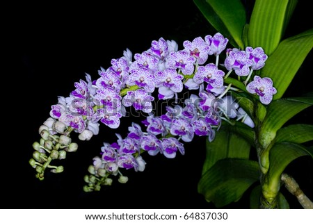 the species orchid of thailand - stock photo