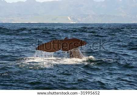 The Sperm Whale starts a deep dive and shows his tail as goodbye. Location is just off the coast near Kaikoura, at the South Island of New Zealand. - stock photo