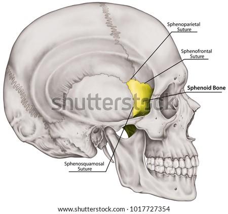 Sphenoid Bone Cranium Bones Head Skull Stock Illustration 1017727354 ...
