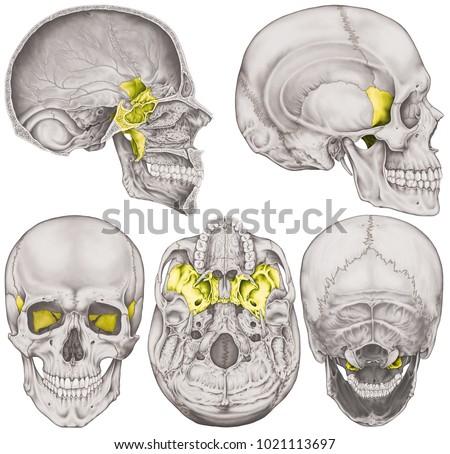 Sphenoid Bone Cranium Bones Head Skull Stock Illustration 1021113697 ...