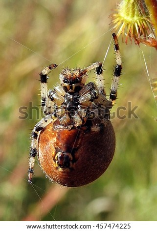 The spider hangs on the web and looking at the camera macro. - stock photo