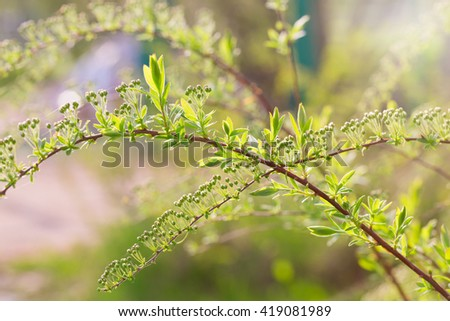 The spirea branches with buds lit with the sun. The close up, small depth of sharpness, is a lot of small buds, an indistinct light green background - stock photo