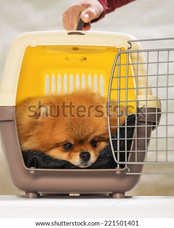 The spitz-dog In a box for transportation - stock photo