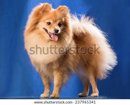 The spitz-dog on a blue background - stock photo
