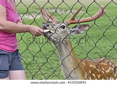 The spotted deer is behind the mesh of  volary fence and  is fed from hand of woman