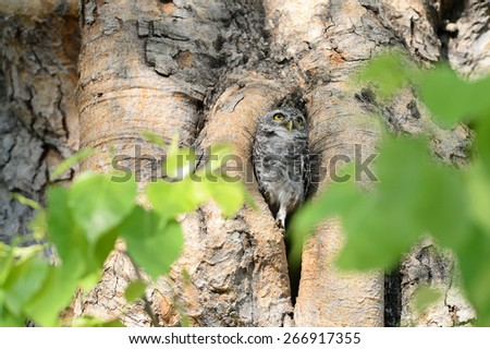 The Spotted Owl in a home. - stock photo