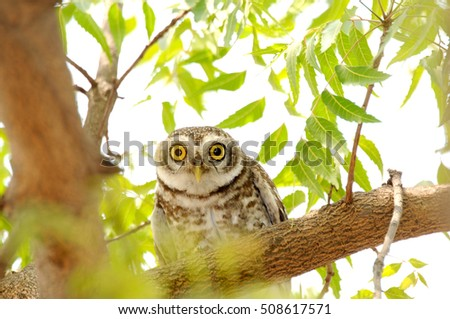 The spotted owlet is a small owl India.