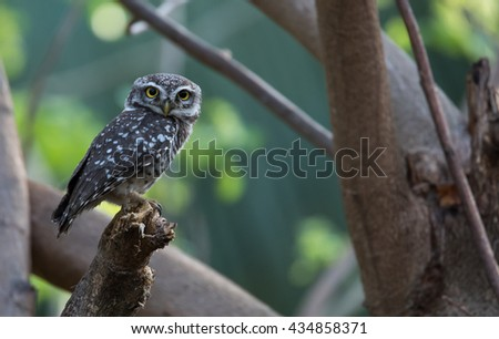 The spotted owlet is a small owl which breeds in tropical Asia from India to Southeast Asia. A common resident of open habitats including farmland and human habitation. - stock photo