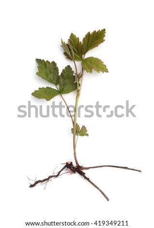 the sprig of blackberries with root on white background