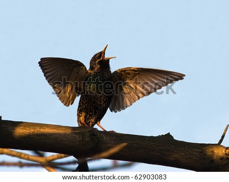The spring singer-dancing starling - stock photo