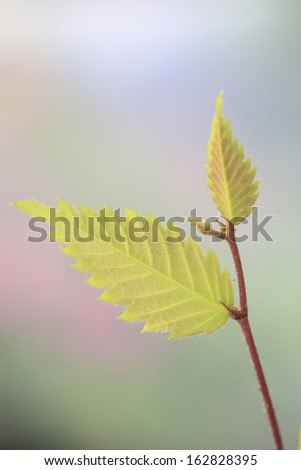 The sprout of a zelkova - stock photo