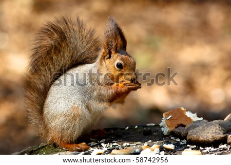 The squirrel - a nice rodent who becomes tame in city park.