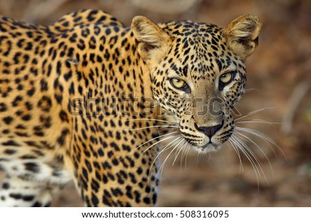 The Sri Lankan leopard (Panthera pardus kotiya), female portait of wild leopard