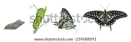 The stages of development butterfly (Papilio xuthus). Isolated on white. - stock photo