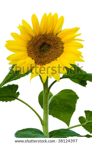 the stalk of a sunflower in full bloom. white background
