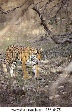 The stalking tigress, Ranthambore National Park - Rajasthan, India - stock photo