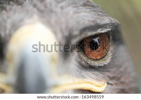 The Steppe Eagle is a bird of prey - stock photo