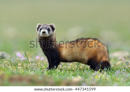 The steppe polecat (Mustela eversmanii) in natural habitat - stock photo